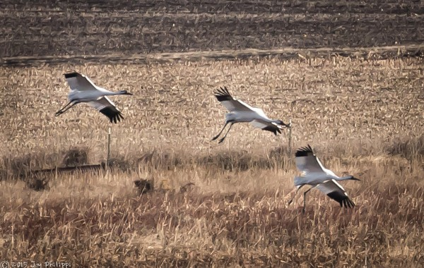 Whooping Crane Visit
