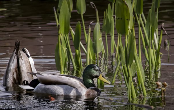 Ducks on the Lily Pond